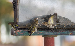 Pine Siskin finches (Carduelis pinus) - in spring competing for space and food at a feeder in a northern Ontario woods. Royalty Free Stock Photos