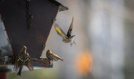 Pine Siskin finches (Carduelis pinus) - in spring competing for space and food at a feeder Royalty Free Stock Image