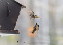 Pine Siskin finches (Carduelis pinus) - take to the air in a scuffle over territory that is over in three seconds. Royalty Free Stock Image