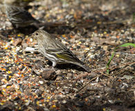 Pine Siskin Royalty Free Stock Photography