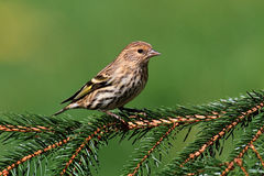 Pine Siskin Perched Royalty Free Stock Images