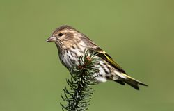 Pine Siskin Perched Royalty Free Stock Photo