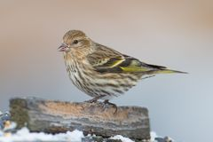 Pine siskin perched on abranch - taken in winter in the Sax-Zim Bog in Northern Minnesota.  stock image