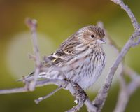 Pine siskin perched on abranch - taken in winter in the Sax-Zim Bog in Northern Minnesota.  royalty free stock photo