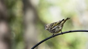Pine Siskin perched on the arm of a feeding station stock photo