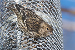 Pine Siskin Royalty Free Stock Photos
