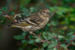 Pine Siskin Stock Photo