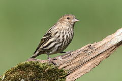 Pine Siskin Perched Stock Image