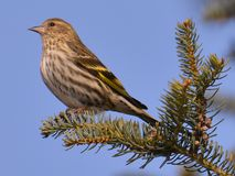 Pine siskin perched on an evergreen branch - taken in winter in the Sax-Zim Bog in Northern Minnesota.  royalty free stock photos