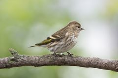 Pine Siskin Perched on Tree Branch Royalty Free Stock Images