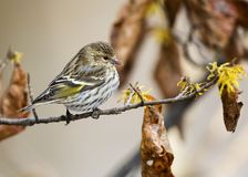 Pine Siskin perched on a Witch Hazel branch in late autumn stock photography