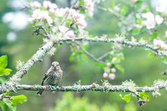 Pine siskin perches on an apple branch Stock Images