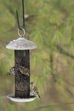 Pine Siskins - Carduelis pinus Royalty Free Stock Photo