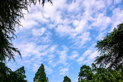 Pine and sky. Blue sky with white clouds and pine Royalty Free Stock Images