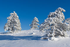 Pine in snow Stock Images