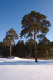 Pine in snow. Pine in the snow and the woods in the background Royalty Free Stock Photo