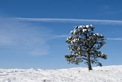 Pine in the snow. Lone Pine, a winter landscape, snow and blue sky Royalty Free Stock Photo