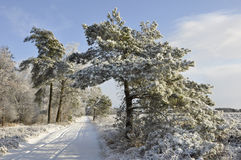 Pine with Snow Royalty Free Stock Images