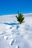 Pine on snow Stock Photography