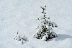 Pine in the snow Royalty Free Stock Images