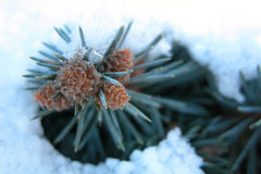 Pine in Snow. Pine needles and tiny cones poking out of the snow Royalty Free Stock Photos