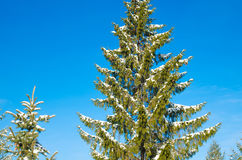 Pine with snow Royalty Free Stock Photos