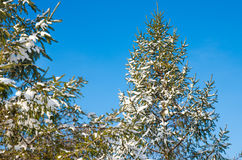 Pine with snow Stock Photography