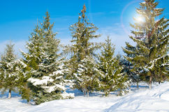 Pine with snow Royalty Free Stock Photo