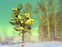 Pine snow covered Stock Image