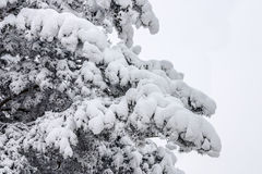 Pine in a snow. Filled up with a snow of a pine in frosty day Stock Images