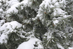 Pine in snow and ice. Freezing rain. Stock Photography