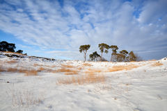 Pine on snow meadow over blue sky. Gelderland, Netherlands Royalty Free Stock Photos