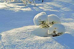 Pine in the snow Stock Photography