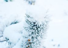 Pine with snow. Pine tree covered with snow, winter, Christmas background Royalty Free Stock Photography