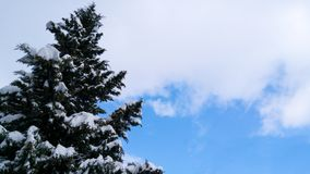 Pine with snow - upside down. Landscapes  Seasons  Winter clouds sky snow Stock Photos