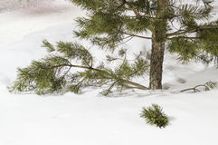 Pine in snow Royalty Free Stock Photo