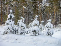 Pine after snowfall Royalty Free Stock Image