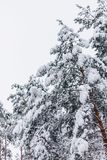 Pine tree in the snow cover stock images