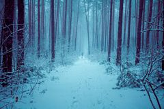 Pine snowy forest in winter Royalty Free Stock Photography