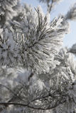Pine in the sparkling frost. Needles on a branch of pine in the sparkling frost Stock Photo