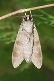 Pine sphinx moth Royalty Free Stock Photos