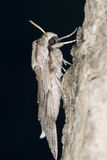 Pine sphinx moth Royalty Free Stock Images