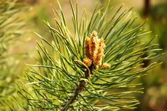 Pine sprig Royalty Free Stock Image