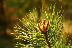 Pine sprig Stock Image