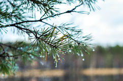 Pine sprigs Royalty Free Stock Photos