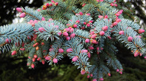 Pine Spring Royalty Free Stock Photography