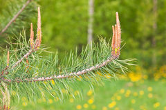 Pine in the spring closeup Royalty Free Stock Image