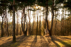 Pine forest with sunbeams Royalty Free Stock Photography