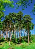 Pine spring. Illustrations,spring forests stock photography