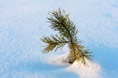 Pine sprout Stock Photography